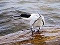 2020-07-18 Thalasseus sandvicensis, St Marys Island, Northumberland 06.jpg