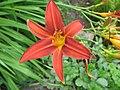2813 - Innsbruck - Hofgarten - Flower and Syrphidae.JPG
