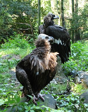 Cinereous vulture - A pair in captivity