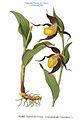 335 Cypripedium calceolus L.jpg