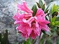 3514 - Fiescheralp - Rhododendron ferrugineum.JPG
