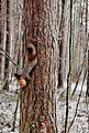3906. Squirrel with apple.jpg
