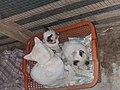 3 white cats.jpg