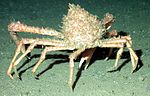 41794428 spidercrab noaa 203.jpg