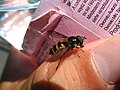 4701 - Gimmelwald-Mürren - Syrphidae.JPG