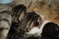 5-day-old kittens 07.jpg