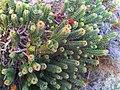 5 Saltera sarcocolla - Cape Peninsula.jpg