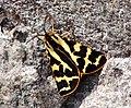 72.025 BF2056 Wood Tiger, Parasemia plantaginis (5757053267).jpg