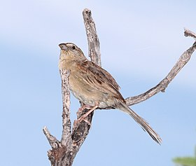 867 - BOTTERI'S SPARROW (8-5-13) circulo montana, patagonia lake ranch estates, scc, az -3 (9466161976).jpg