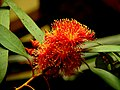 A@a flowers (eucalyptus) - panoramio (1).jpg