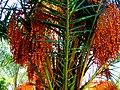 A@a palm Trees Deftera village nicosia cy. - panoramio (4).jpg