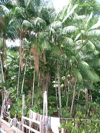 Açaí palm - Açaí palm