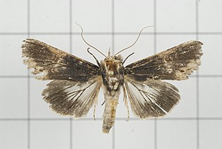 <i>Stictoptera cucullioides</i> species of insect