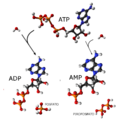 ATP-ADP-AMP.png