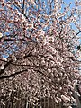 A Picture of Beautiful Peach-tree Blossoming.jpg