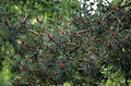 A close-up of pine at Gibberd Garden Essex England.JPG