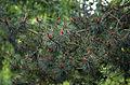 A close-up of pine at Gibberd Garden Essex England.JPG
