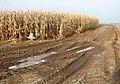 A crop of maize - geograph.org.uk - 1114221.jpg