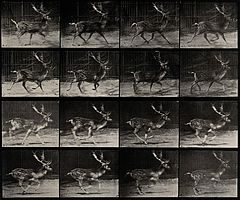 A deer buck running. Photogravure after Eadweard Muybridge, Wellcome V0048763.jpg