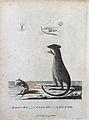 A kangaroo, a kangaroo-rat and details of their jaws. Etchin Wellcome V0022858ER.jpg