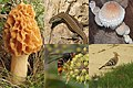 A photocollage from some nature aspects of a Dordogne France holiday. Left a Morchella esculenta and right a Pholiota populnea - panoramio.jpg