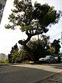 A tree in Durrës.jpg