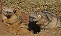 Aardwolf, Proteles cristata, at Lion and Rhino Reserve, Gauteng, South Africa (47987207608).jpg