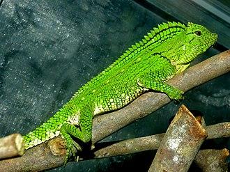 Abbott's crested lizard - Female