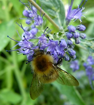 Optimal foraging theory - Worker bees forage nectar not only for themselves, but for their whole hive community. Optimal foraging theory predicts that this bee will forage in a way that will maximize its hive's net yield of energy.