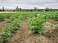 Aberásturi - Planta de patata 01.jpg