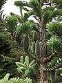 Abies balsamea (Balsam Fir) (41072453900).jpg