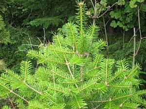 Abies holophylla - Foliage on young tree