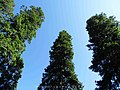 Abies pindrow India42.jpg