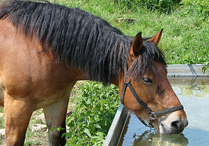 Equine nutrition - Horses require substantial amounts of clean water every day