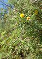 Acacia constricta kz7.jpg
