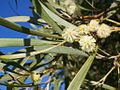 Acacia heterophylla (flowers) 2.JPG