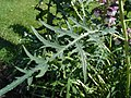 Acanthus spinosus-leaf-in Jardin des Plantes de Paris.jpg