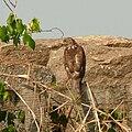 Accipiter badius in Südindien A.jpg