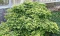 Acer palmatum Yatsubusa Kojohime 1zz.jpg
