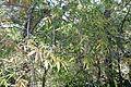 Acer pentaphyllum - Quarryhill Botanical Garden - DSC03220.JPG