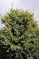 Acer rubrum 32zz.jpg