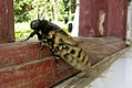 Acherontia styx (Indonesia, Flores, Endeh Regency, Woloara, 650m, 28.x.2006) 4.jpg