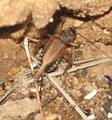 Acheta domestica femelle.png