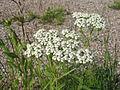 Achillea millefolium 1-eheep (5097839028).jpg