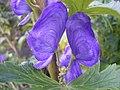 Aconitum carmichaelli 'arendsii' 27-10-2005 16.09.36.JPG
