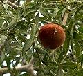 Adansonia rubrostipa 03.jpg