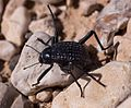 Adesmia ground beetle (50718).jpg