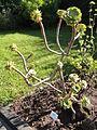 Aeonium arboreum - Botanischer Garten, Frankfurt am Main - DSC02385.JPG