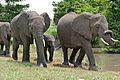 African Elephants (Loxodonta africana) (17331113511).jpg