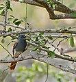 African Paradise Flycatcher (Terpsiphone viridis) female calling ... (31520243704).jpg